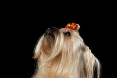 Closeup Mini Yorkshire Terrier Dog Looking up isolated Black background Stock Images