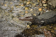 Closeup of miniature alligators. In river Stock Images