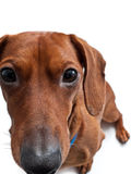 Closeup of Miniature dachshund on white Stock Photo