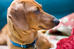 Closeup of Miniature Dachsund lying beside his toy Stock Photography