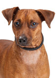Closeup Of A Miniature Pinscher Cross Dog Royalty Free Stock Photo