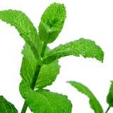 Mint plant Stock Image