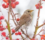 Fieldfare bird sitting on a snow covered apple tree stock photography