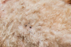 Closeup of mite and fleas infected on dog fur skin Royalty Free Stock Images
