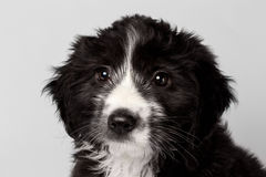 Closeup Mixed Breed Black Puppy Looking Pity Isolated Stock Image