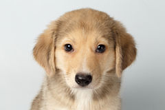 Closeup Mixed Breed Ginger Puppy Pity Looking Isolated on White Royalty Free Stock Photo