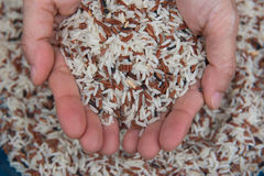 Closeup Mixed White and brown rice, colorful rice grain in hand Royalty Free Stock Photo