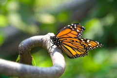 Closeup of monarch butterfly on a branch. Closeup of a monarch butterfly perched on a branch. Butterfly is in focus, with nicely blurred background foliage Stock Photos