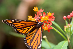 Closeup of monarch butterfly feeding. Closeup of a monarch butterfly perched on a red and yellow flower, feeding on pollen Royalty Free Stock Photography