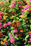 Monarch butterfly on a flower. Closeup of a Monarch butterfly on a flower stock images