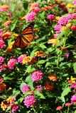 Monarch butterfly on a flower stock image