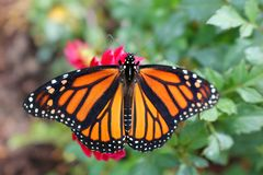 Closeup of a Monarch Butterfly on a red flower with wings opened. Close up of a Monarch Butterfly on a red flower with spread open wings and green blurred stock image
