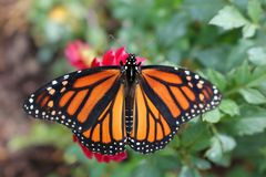 Monarch Butterfly on red flower with green foliage, stock photography