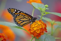 Monarch butterfly closeup. Closeup of a Monarch butterfly on red and orange flowers royalty free stock photography