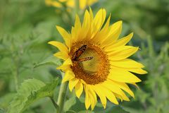 Monarch on sunflower. Closeup of monarch butterfly on sunflower flower royalty free stock images