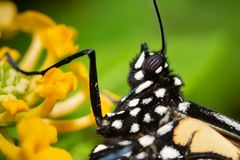 Closeup of a Monarch butterfly on a yellow Lantana flower. With focus on its spherical compound eye stock images