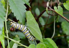 Monarch Caterpillar. Closeup of a monarch caterpillar royalty free stock photography