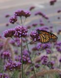 Monarch on flower. Closeup of Monarch on flower in Longueuil, Quebec, Canada Stock Photography