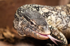Monitor lizard close-up Royalty Free Stock Image