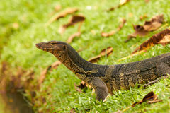 Closeup of monitor lizard - Varanus on green grass Stock Image