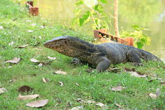 Closeup of monitor lizard - Varanus. Stock Photos