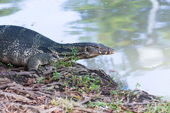 Closeup of monitor lizard - Varanus on green grass focus on the Stock Photography