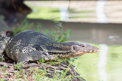 Closeup of monitor lizard - Varanus on green grass focus on the Royalty Free Stock Photo