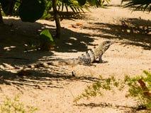 Closeup of monitor lizard Stock Images