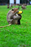 Monkey eating Stock Photos
