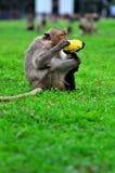 Monkey eating Stock Photos