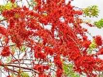 Monkey Flower Tree or Fire of Pakistan with Green Leaves. Closeup Monkey Flower Tree or Fire of Pakistan with Green Leaves Royalty Free Stock Photography
