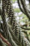 Closeup of Monkey Puzzle Tree. Details of a Monkey Puzzle Tree in the Pacific Northwest Royalty Free Stock Photos