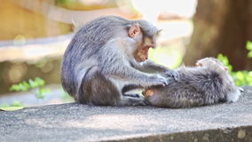 Closeup Monkey Sits on Stone Searches Fleas on Other in Park. Closeup two monkeys sit lie on stone search fleas in tree shade against light green background in stock video