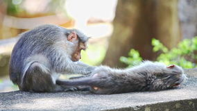 Closeup Monkey Sits on Stone Searches Fleas on Other in Park. Closeup two monkeys sit lie on stone search fleas in tree shade against light green background in stock footage