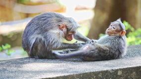 Closeup Monkey Sits on Stone Searches Fleas on Other in Park. Closeup two monkeys sit lie on stone search fleas in tree shade against light green background in stock video footage