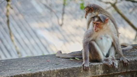 Closeup Monkeys with Cub Sit Play on Stone in Park stock video footage