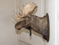 Closeup of a moose head mounted on a wall. An adult bull moose head is mounted on a wall.  The scientific name is Alces alces.  The perspective is a sideview Royalty Free Stock Image