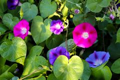 Closeup morning glory flower in a garden.Blurred background. Royalty Free Stock Images