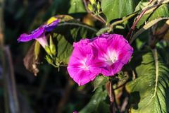 Closeup morning glory flower in a garden.Blurred background. Stock Image