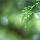 Closeup Of Morning Water Drops on Coniferous Branches in The Par Royalty Free Stock Photo