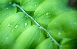 Closeup of Morning Water Drops on Green Park Leaves Stock Photos