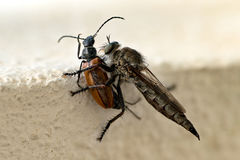Closeup of mosquito eating beetle Royalty Free Stock Photos