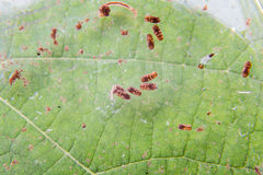 Closeup of mosquito larva and pupa found on potted plants stagnant water Stock Photography