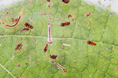 Closeup of mosquito larva and pupa found on potted plants stagnant water Stock Photos