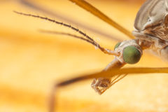 Closeup of mosquito's head Stock Photography