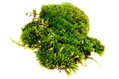 Closeup moss Stock Photography