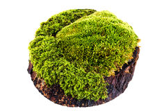 Closeup moss Royalty Free Stock Photography