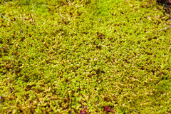 Closeup of moss. Detailed closeup shot of moss in a swamp Royalty Free Stock Photo