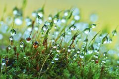 Closeup moss Royalty Free Stock Image
