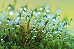Closeup moss Royalty Free Stock Image